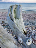 Driftwood on the shell-covered Long Beach in Stratford, Connecticut, USA Impressão fotográfica por Jerry & Marcy Monkman