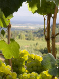 Chardonnay Grapes in the Knudsen Vineyard, Willamette Valley, Oregon, USA Impressão fotográfica por Janis Miglavs
