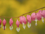 Closeup of pink bleeding hearts, Arlington, Virginia, USA Photographic Print by Corey Hilz