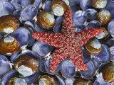 Close-Up of Starfish and Clam Shells, Hood Canal, Seabeck, Washington, USA Fotografisk tryk af Don Paulson