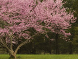 Redbud Tree in bloom, Manassas National Battlefield Park, Virginia, USA Photographic Print by Corey Hilz