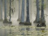 Bald Cypress Swamp in Fog, Cypress Gardens, Moncks Corner, South Carolina, USA Photographic Print by Corey Hilz