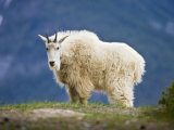 Mountain Goat, Jasper National Park, Alberta, Canada Reproduction photographique par Larry Ditto
