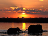 Herd of Elephants, Chobe River at Sunset, Chobe National Park, Botswana Fotografisk tryk af Paul Souders