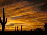 Saguaro Cactus at Sunset, Sonoran Desert, Arizona, USA Lámina fotográfica por Marilyn Parver