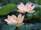 Lotus Flower in Blossom, China Fotografie-Druck von Keren Su