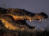 Nile Crocodile, Chobe River at Sunset, Chobe National Park, Botswana Fotografisk tryk af Paul Souders
