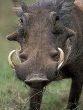 Warthog Displays Tusks, Addo National Park, South Africa Lámina fotográfica por Paul Souders