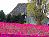 Tulip Field and Barn, Skagit Valley, Washington, USA Photographic Print by Charles Sleicher