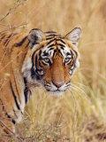 Royal Bengal Tiger Watching, Ranthambhor National Park, India Photographic Print by Jagdeep Rajput