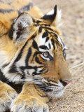 Portrait of Royal Bengal Tiger, Ranthambhor National Park, India Photographic Print by Jagdeep Rajput