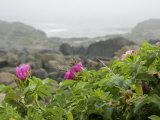 Beach Roses Along Marginal Way, Ogunquit, Maine, USA Fotoprint van Lisa S. Engelbrecht