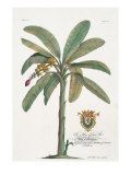 Banana Tree Premium Giclee Print by  Porter Design