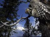Hawk Owl Flies from its Nest in a Cavity in a White Spruce, Alaska Fotoprint van Michael S. Quinton