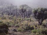 Lalibela Trees on the Slope of Mount Kilimanjaro, East Africa Reproduction photographique par Skip Brown