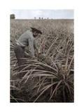 Farmer Collects Pineapples from Plants in Puerto Rico Fotografisk trykk av Charles Martin