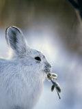 Snowshoe Hare (Lepus Americanus) Slana, Alaska Photographic Print by Michael S. Quinton