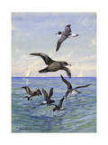 Various Petrels and Shearwaters Look for Food at the Water's Surface Reproduction photographique par Allan Brooks