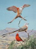 Scissor-Tailed and Vermilion Flycatchers Perch on a Mesquite Tree Reproduction photographique par Walter Weber