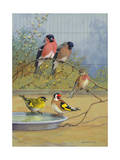 Bullfinches, Linnet, Siskin, and Goldfinch Perch Next to One Another Reproduction photographique par Allan Brooks