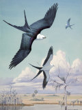 Three Swallow-Tailed Kite Birds Soar over Southern Swamp Land Reproduction photographique par Walter Weber