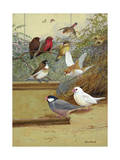 Strawberry Finches, Bengali Finch and Java Sparrows are Asian Species Photographic Print by Allan Brooks