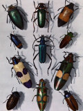 Collection of Beetles Photographic Print by Edwin L. Wisherd