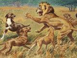 Rhodesian Ridgebacks Corral a Lion for a Hunter Fotografisk tryk af Walter Weber