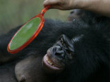 Bonobo Looking in a Mirror at a Language Research Center Photographic Print by Randy Olson