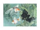 Scaleless Fringetail, Common Fantail, and Veiltail Moor Telescope Photographic Print by Hashime Murayama