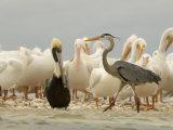 American White Pelicans, Brown Pelican, and Great Blue Heron Fotografisk tryk af Klaus Nigge