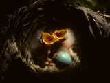Baby Robins Begging for Food with Unhatched Egg Fotografisk trykk av Michael S. Quinton