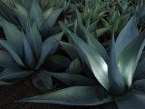 Maguey or Agave Plants Valokuvavedos tekijänä Raul Touzon