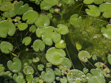 Pokhara, Nepal, Asia- Water Lily on Pond, High Angle View Photographic Print by  Keenpress