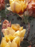 Flowering Cactus at the Boyce Thompson Southwestern Arboretum Reproduction photographique par Scott Warren