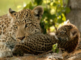 Leopard (Panthera Pardus) with Young Cub Fotografisk trykk av Beverly Joubert