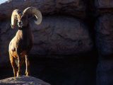 Desert Big Horn Sheep Stepping onto Rock Outcrop Fotografisk tryk af Kate Thompson