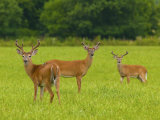 White-Tailed Deer in Cades Cove Photographic Print by Michael Melford