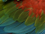 Green-Winged Macaw or Green and Red Macaw (Ara Chloroptera) Feathers Photographic Print by Joel Sartore
