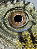 Abstract Close Up of an Eastern Water Dragon's Eye Fotografie-Druck von Brooke Whatnall