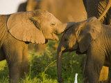 African Elephant (Loxodonta Africana)Calf Fotografisk trykk av Beverly Joubert