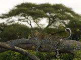 Leopard Resting on a Strong Tree Limb Fotografisk trykk av Beverly Joubert