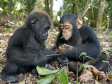 Baby Gorilla and a Chimpanzee Examining Leaves Fotografisk trykk av Michael Polzia