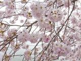 Yoshino Cherry Blossoms During the Cherry Blossom Festival Reproduction photographique par Scott Warren