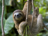 Young Brown-Throated Three-Toed Sloth Hanging from a Branch Fotografisk tryk af Roy Toft