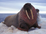 Two Atlantic Walrus Bask on Ice Fotografisk tryk af Nick Norman