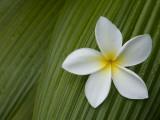 Plumeria Flower Used in Making Leis Fotografisk tryk af John Burcham