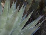 Agave Plant in the Foothills Near Cave Creek Reproduction photographique par Scott Warren