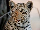 Close Portrait of a Leopard, Panthera Pardus Fotografisk trykk av Beverly Joubert