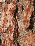 Close View of Tree Bark Fotografisk tryk af Charles Kogod